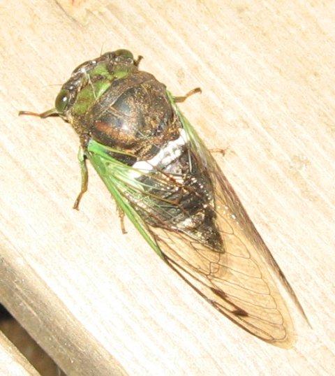 A nice annual cicada.